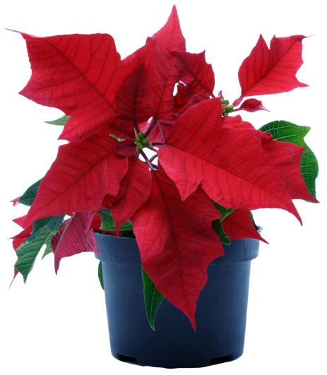 Imagenes de flores nochebuena 8 de diciembre d 237 a - Imagenes de plantas de interior ...